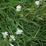 Silene vulgaris, bladder campion