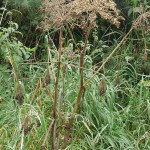 The seed of Heracleum sphondylium (hogweed) can also be used as a spice