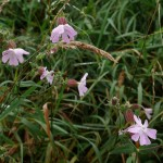 A pink flowered form of Silene vulgaris, bladder campion