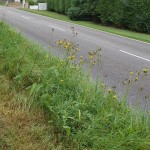 Sonchus arvensis enjoys the salty environment of the road verge!