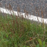 Plantago maritima (sea plantain) also colonises road side verges due to the salt