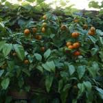 """Citrus aurantium """"Seville Orange"""""""