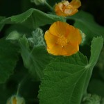 Abutilon grandiflora is from tropical East Africa, most if not all members of the mallow family are edible