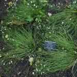 Oxalis articulata var. alba