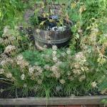 Allium tuberosum in seed