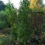 Chenopodium berlandieri (huauzontle)
