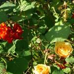Nasturtium roses :)