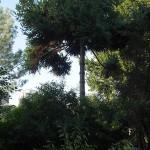 Araucaria angustifolia (Brazilian Monkey Puzzle)