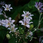 Tricyrtis (toad lilies) - edible spring shoots. It would be nice to know if the flowers are also edible?