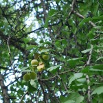Smelly Gingko fruit