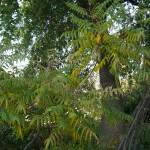 Rhus triloba, lemonade bush