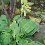 A November cowslip, Primula veris