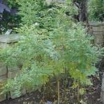 Glycyrrhiza glabra (Licquorice)