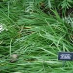 Tulbaghia violacea var. robustior