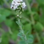 Stevia in flower