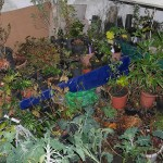 The edibles cellar store rooms are now completely full and I can hardly move down there now :) Perennial kales at the front in buckets