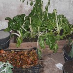 The traditional veg store with swiss chard planted in boxes in earth...root vegetables are stored in damp leaves