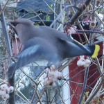 Waxwings on white berried Sorbus fruticosa