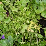 Eaten alive by Brassica pests, bouncing back in the autumn with masses of shoots