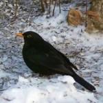 Blackbird / svarttrost