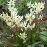 """Probably seed propagated Erythronium californicum """"White Beauty"""" according to expert Ian Young...I got this originally in a seed packet Erythronium """"Mix"""" and it survived for over 15 years in my garden!"""