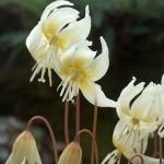 "Probably seed propagated Erythronium californicum ""White Beauty"""