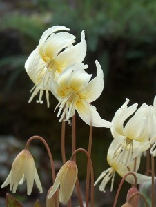"Probably seed propagated Erythronium californicum ""White Beauty"""