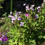Orychophragmus violaceus in a garden; see http://www.edimentals.com/blog/?p=8361