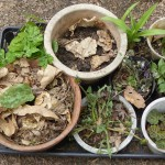From top left and clockwise: Anemone flaccida, Erythronium, Hemerocallis, Tricyrtis, Cardamine and Angelica, Saxifraga stolonifera, Taraxacum albidum and Erythronium japonicum (bottom left