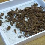Japanese Indigo (Polygonum tinctorium / Persicaria tinctoria) seed