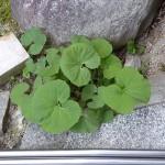 Fuki, Petasites japonica