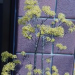 Cornus officinalis? in a garden