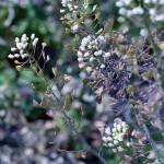 Shepherd's Purse / nazuna (Capsella) is a popular foraged weed