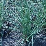 Probably Allium chinense, Rakkyo