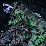 Corydalis ambigua, a spring flowering woodlander that is used as a green vegetable in Japan, see, for example, https://twitter.com/huntforwildlife/status/725855903606427648