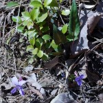 One of the long-leaved violets