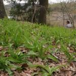 Hemerocallis spp., day lily, edible leaves...