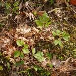 Apiaceae?