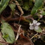 Omphalodes japonica