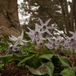 ....with one white flower (Erythronium japonicum)