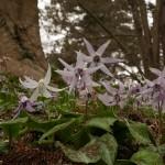 ....with one white flower (Erythronium japonicum)