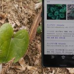 Asarum nipponicum: our guide helped us with some of the IDs via smartphone!