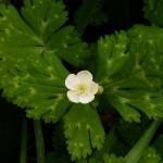 Anemone flaccida, nirinsou