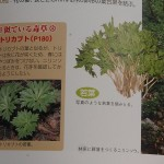 From our guide's foraging book, showing a picture of monkshood (Aconitum) a  poisonous look-alike of Anemone flaccida!