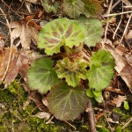 Yet another woodland edible and common ornamental....Saxifraga stolonifera (yuki-no-shita), again with many cultivars.. See also http://www.edimentals.com/blog/?p=5495