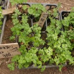 Small plants of Anemone flaccida for sale