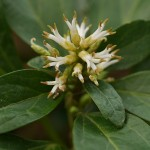 Flowers of a Pachysandra species