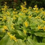 """Erythronium """"Kondo"""" at RHS Wisley Gardens"""