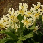 "Erythronium ""White Beauty"" at RHS Wisley Garden"