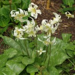 "Erythronium ""Harrington Snow Goose"" at RHS Rosemoor Garden"